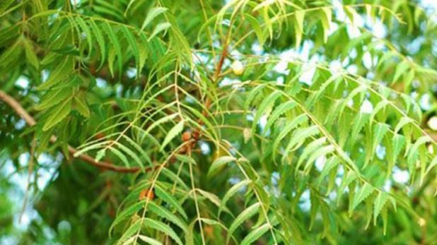 Amazing Benefits of Chewing Azadirachta indica (Neem) Regularly